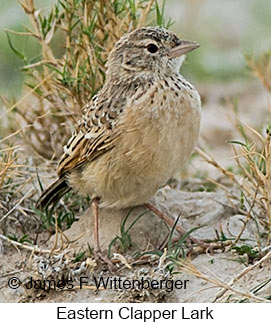 Eastern Clapper Lark - © James F Wittenberger and Exotic Birding LLC