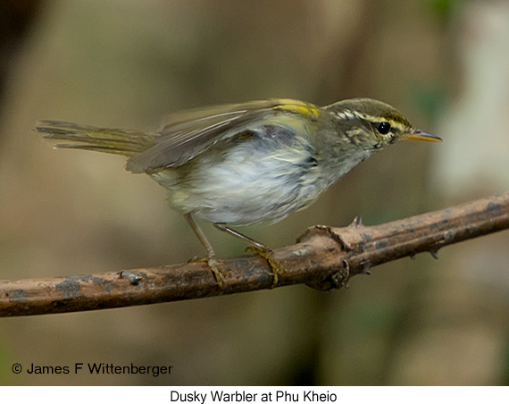 Eastern-crowned Warbler - © James F Wittenberger and Exotic Birding Tours