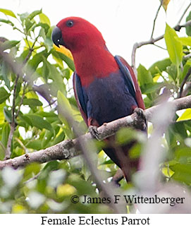 Eclectus Parrot - © James F Wittenberger and Exotic Birding LLC