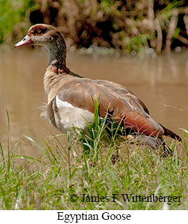 Egyptian Goose - © James F Wittenberger and Exotic Birding LLC