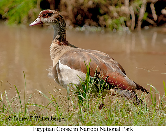 Egyptian Goose - © James F Wittenberger and Exotic Birding Tours