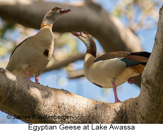Egyptian Goose - © The Photographer and Exotic Birding LLC