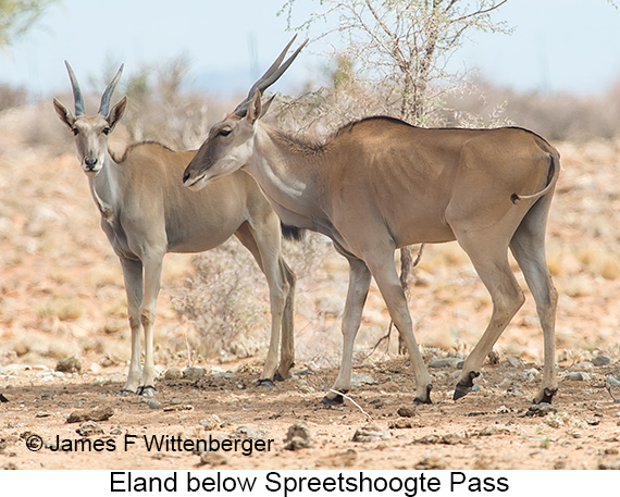 Eland - © James F Wittenberger and Exotic Birding LLC