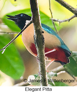 Elegant Pitta - © James F Wittenberger and Exotic Birding Tours