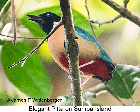Elegant Pitta - © James F Wittenberger and Exotic Birding LLC