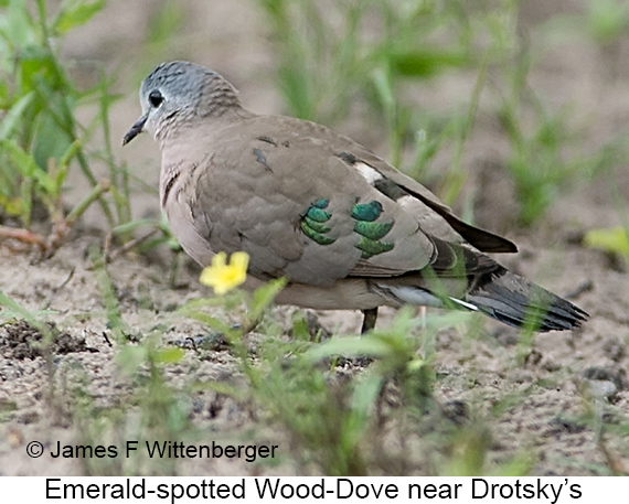 Emerald-spotted Wood-Dove - © The Photographer and Exotic Birding LLC