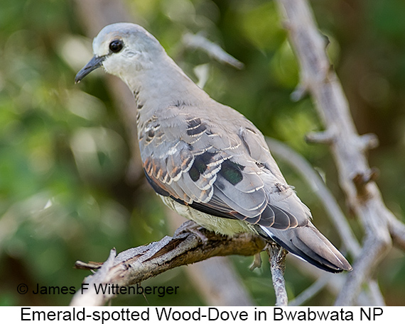 Emerald-spotted Wood-Dove - © James F Wittenberger and Exotic Birding LLC
