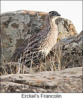 Erckel's Francolin - © James F Wittenberger and Exotic Birding LLC