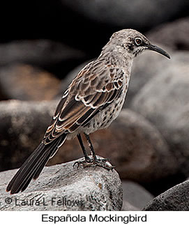 Espanola Mockingbird - © Laura L Fellows and Exotic Birding LLC