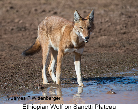 Ethiopian Wolf - © James F Wittenberger and Exotic Birding LLC