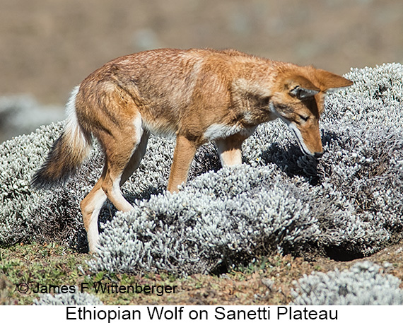 Ethiopian Wolf - © The Photographer and Exotic Birding LLC