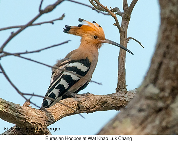 Eurasian Hoopoe - © James F Wittenberger and Exotic Birding Tours