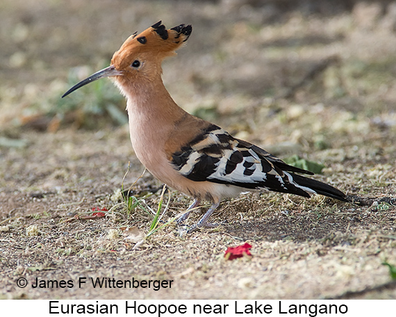 Eurasian Hoopoe - © The Photographer and Exotic Birding LLC