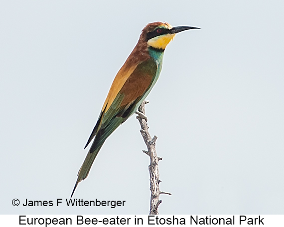 European Bee-eater - © James F Wittenberger and Exotic Birding LLC