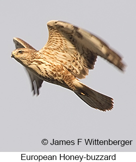 European Honey-buzzard - © James F Wittenberger and Exotic Birding LLC