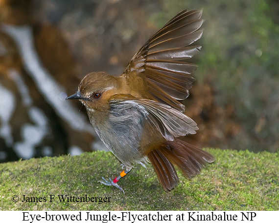 Eye-browed Jungle Flycatcher - © James F Wittenberger and Exotic Birding Tours