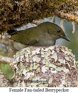 Fan-tailed Berrypecker - © James F Wittenberger and Exotic Birding Tours