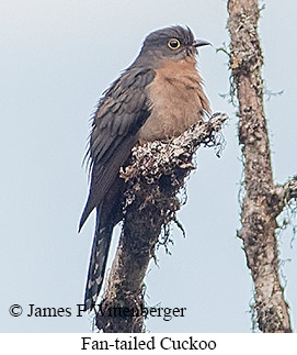 Fan-tailed Cuckoo - © James F Wittenberger and Exotic Birding LLC