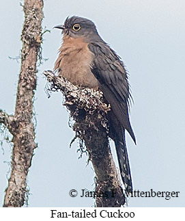Fan-tailed Cuckoo - © James F Wittenberger and Exotic Birding Tours