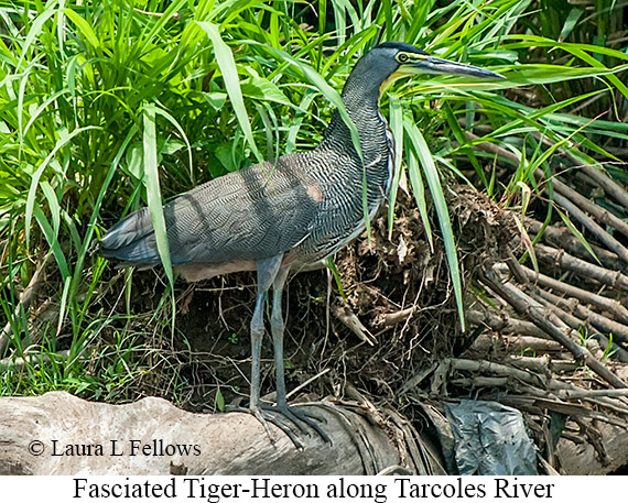 Fasciated Tiger-Heron - © The Photographer and Exotic Birding LLC