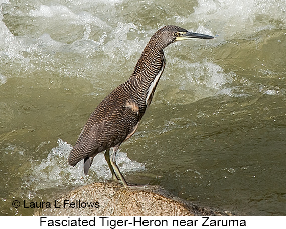 Fasciated Tiger-Heron - © Laura L Fellows and Exotic Birding LLC