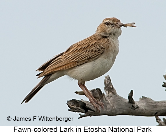 Fawn-colored Lark - © James F Wittenberger and Exotic Birding LLC