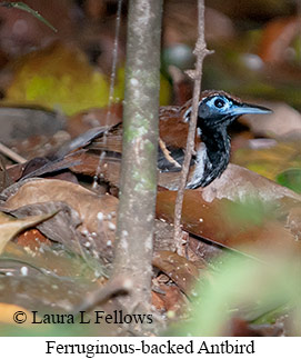 Ferruginous-backed Antbird - © Laura L Fellows and Exotic Birding Tours