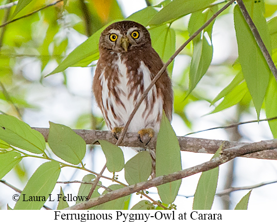 Ferruginous Pygmy-Owl - © Laura L Fellows and Exotic Birding Tours