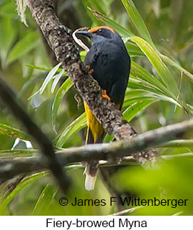 Fiery-browed Myna - © James F Wittenberger and Exotic Birding Tours