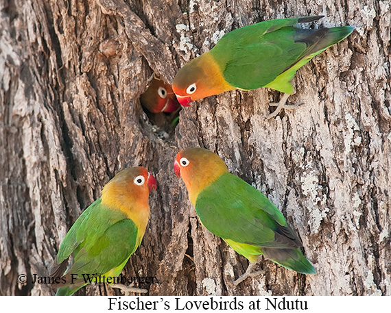 Fischer's Lovebird - © The Photographer and Exotic Birding LLC