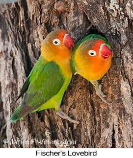 Fischer's Lovebird - © Laura L Fellows and Exotic Birding Tours