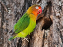Fischer's Lovebird - © James F Wittenberger and Exotic Birding LLC
