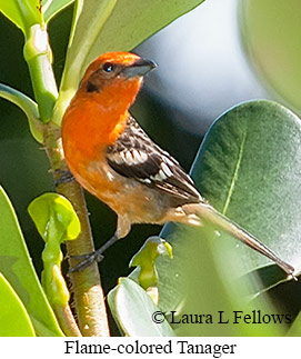 Flame-colored Tanager - © Laura L Fellows and Exotic Birding Tours