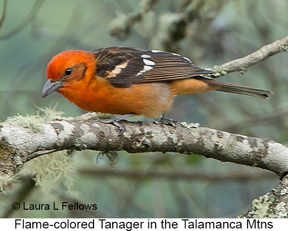 Flame-colored Tanager - © The Photographer and Exotic Birding LLC