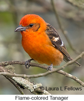 Flame-colored Tanager - © Laura L Fellows and Exotic Birding LLC