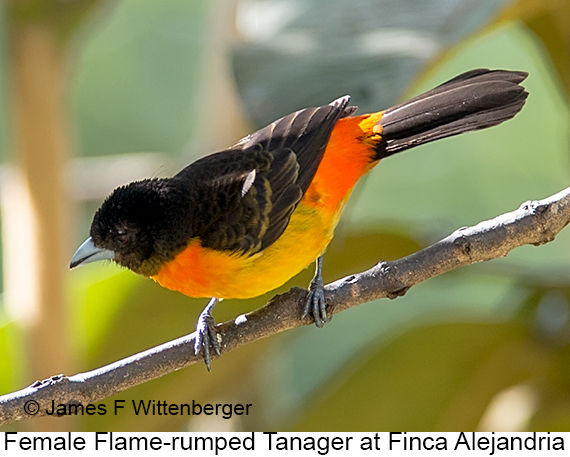 Flame-rumped Tanager - © James F Wittenberger and Exotic Birding LLC