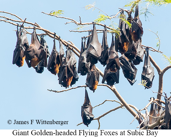 Flying Foxes - © James F Wittenberger and Exotic Birding Tours