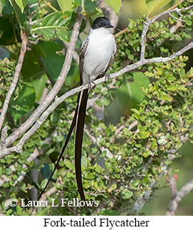 Fork-tailed Flycatcher - © Laura L Fellows and Exotic Birding LLC