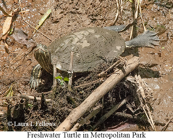 Freshwater Turtle - © Laura L Fellows and Exotic Birding Tours