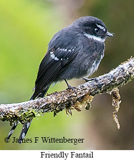 Friendly Fantail - © James F Wittenberger and Exotic Birding LLC