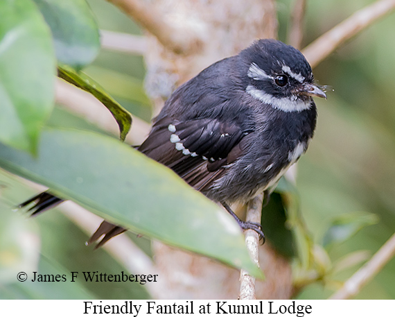Friendly Fantail - © The Photographer and Exotic Birding LLC