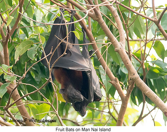 Fruit Bat - © James F Wittenberger and Exotic Birding Tours