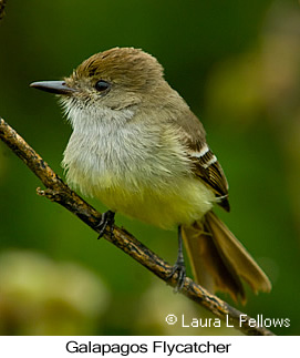 Galapagos Flycatcher - © Laura L Fellows and Exotic Birding Tours