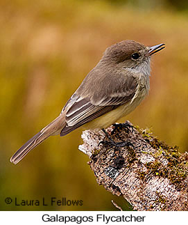 Galapagos Flycatcher - © Laura L Fellows and Exotic Birding LLC