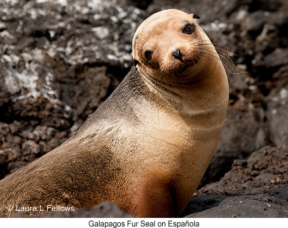 Galapagos Fur Seal - © Laura L Fellows and Exotic Birding Tours