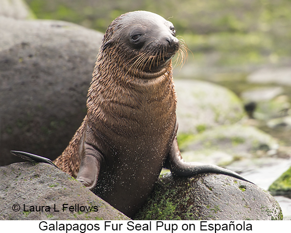 Galapagos Fur Seal - © The Photographer and Exotic Birding LLC