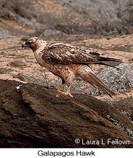 Galapagos Hawk - © Laura L Fellows and Exotic Birding Tours