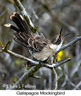Galapagos Mockingbird - © Laura L Fellows and Exotic Birding LLC