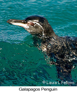 Galapagos Penguin - © Laura L Fellows and Exotic Birding LLC