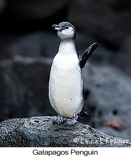 Galapagos Penguin - © Laura L Fellows and Exotic Birding Tours